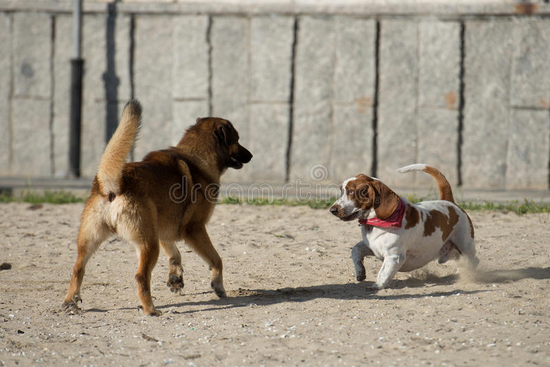 Dogs playing on the sand royalty free stock photo