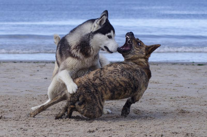 Dogs playing in the sand royalty free stock photo