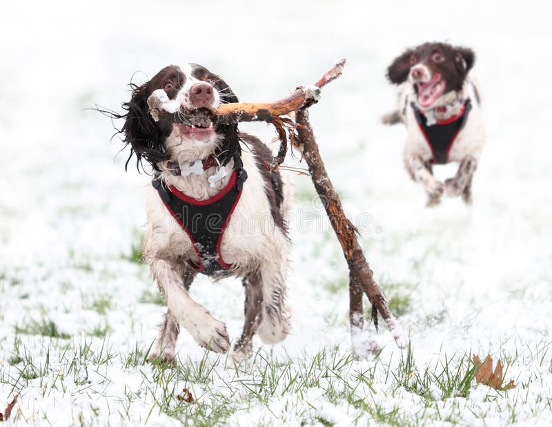 Dogs playing in snow stock images
