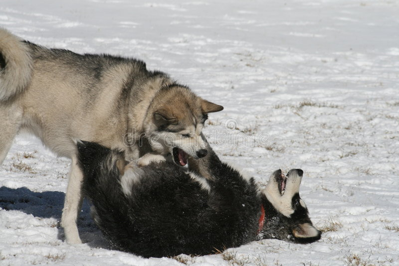 Dogs Playing in Snow royalty free stock photos