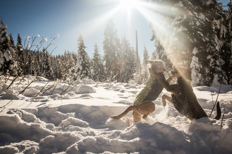 Dogs playing in snow under sun stock image