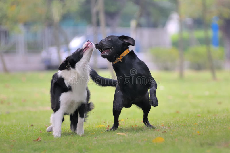 Dogs playing together stock image
