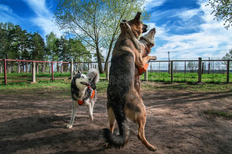 Dogs playing together off-leash. Siberian husky fuuny fight with big sheepdog. Happy dogs jump and jostle. stock images
