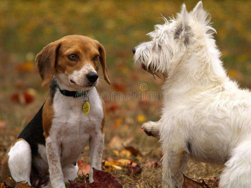 Dogs playing in yard stock images