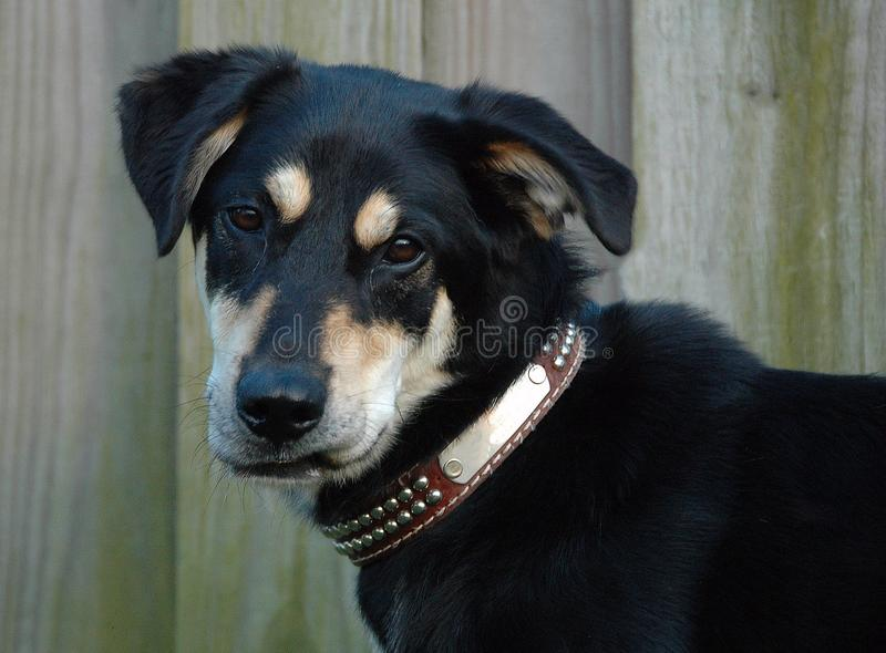 Dogs 212. Portrait of German Shepherd Dog mixed breed with funny grin and leather spiked collar stock images