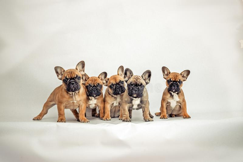 Dogs. Puppies of a French bulldog pose for a photo royalty free stock images