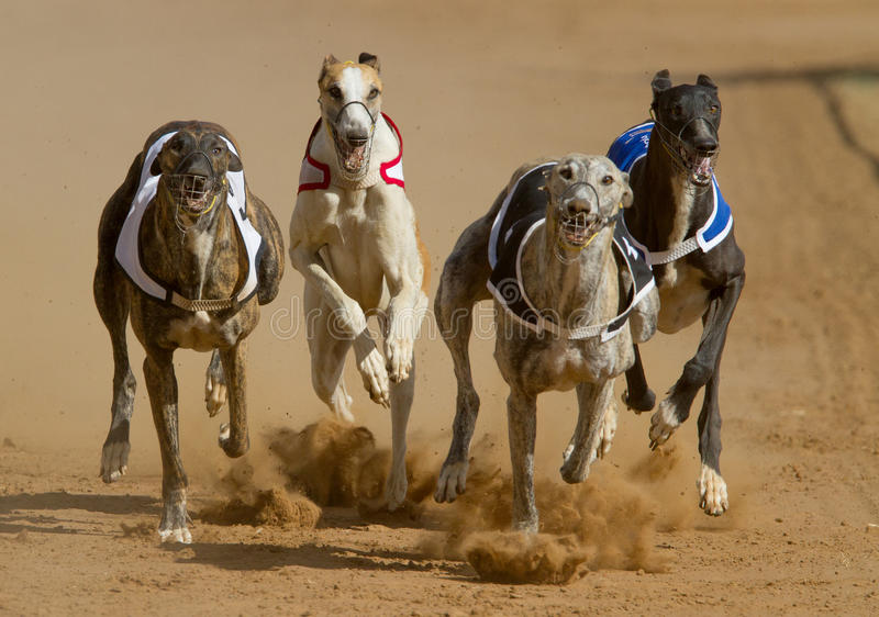 Dogs racing stock photo