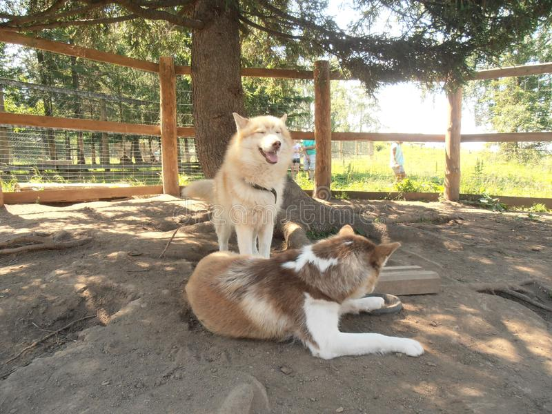 Dogs rest under a tree royalty free stock photo