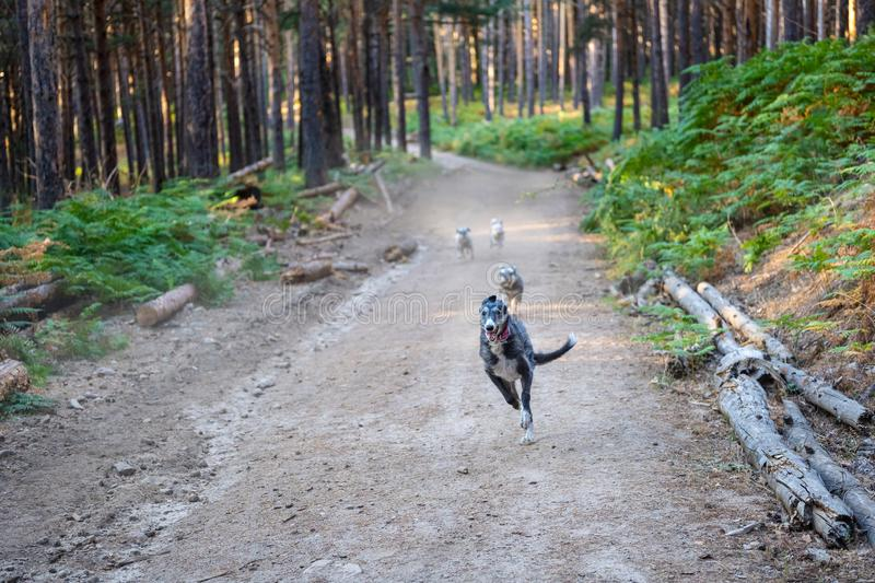 Dogs running along the path of a forest. Dogs running along the path of a pine forest stock photos
