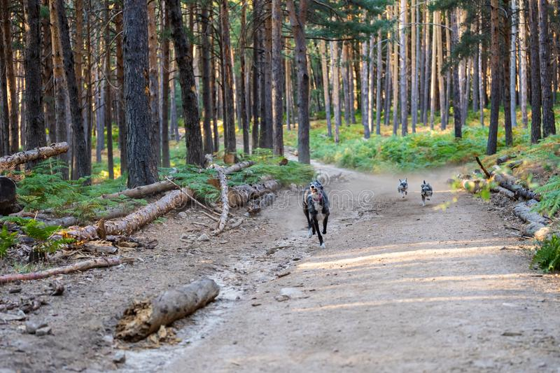 Dogs running along the path of a forest. Dogs running along the path of a pine forest stock images