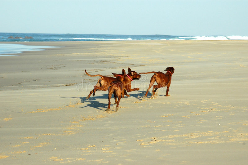 Dogs running on a beach royalty free stock images