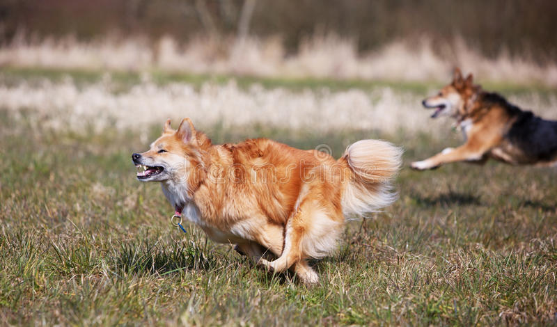 Dogs running on full speed royalty free stock photo