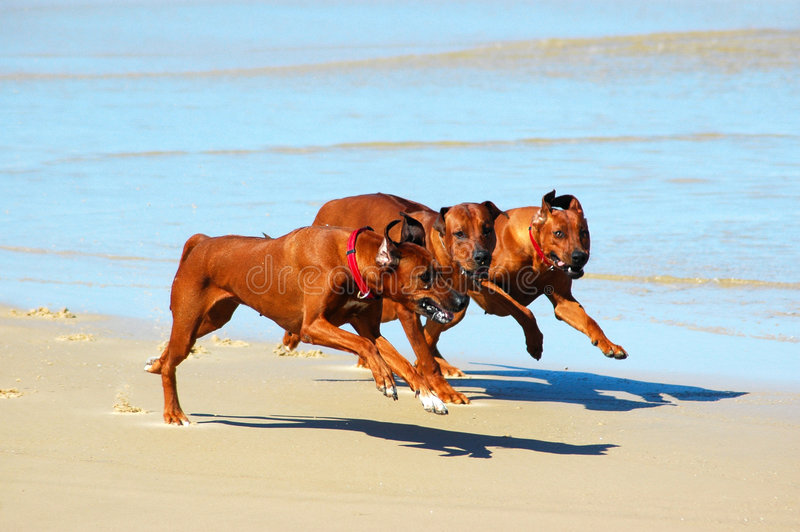 Dogs running in pack. A pack of three fast running Rhodesian Ridgeback hound dogs hunting together in a pack