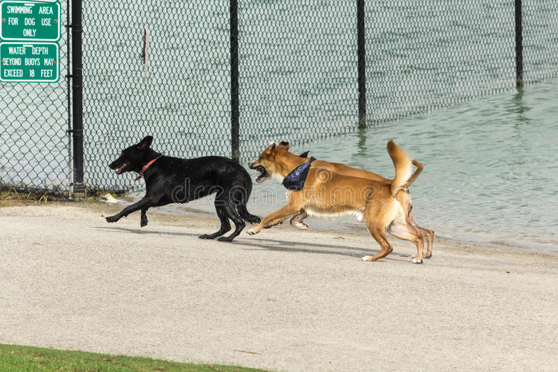 Dogs running, playing, drying their fur in a dog park. Canine companions running with droplets of water flying off their wet fur, enjoying a play date at a dog stock photography