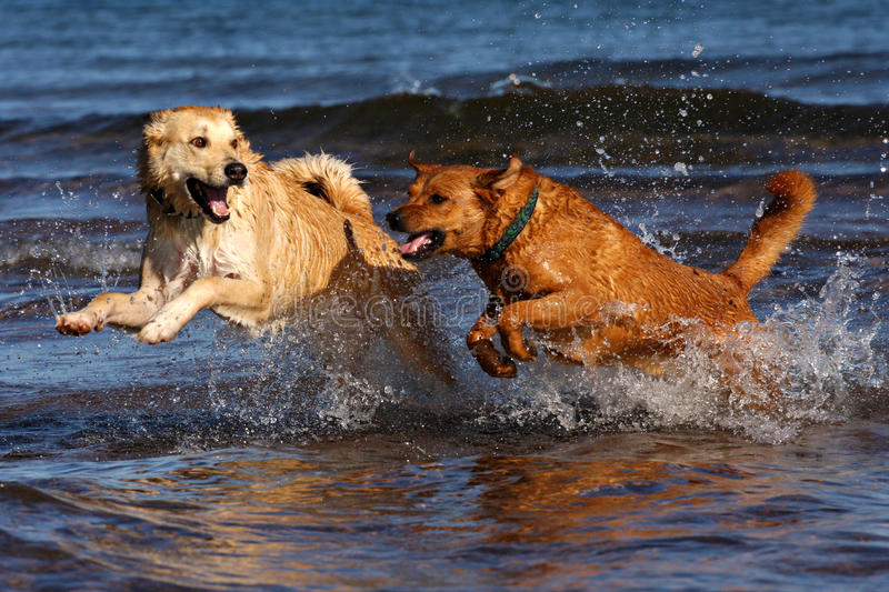 Dogs running in water. Two dogs enjoy running in Lake Superior on a hot summer day stock images