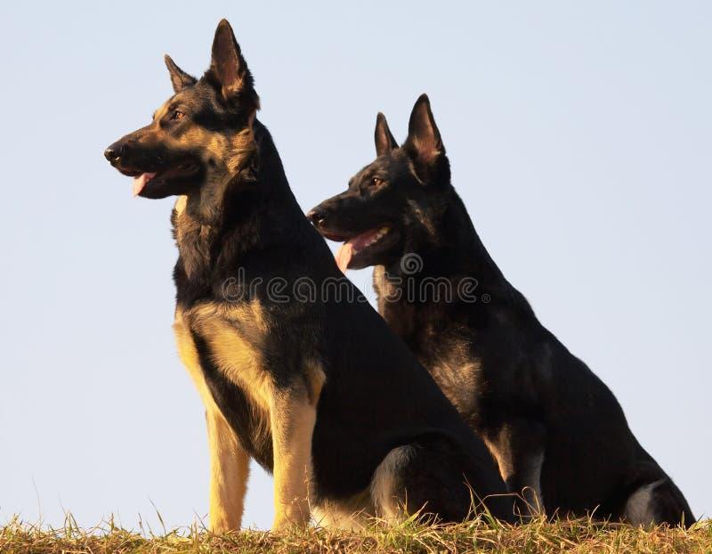 dogs säkerhet fotografering för bildbyråer