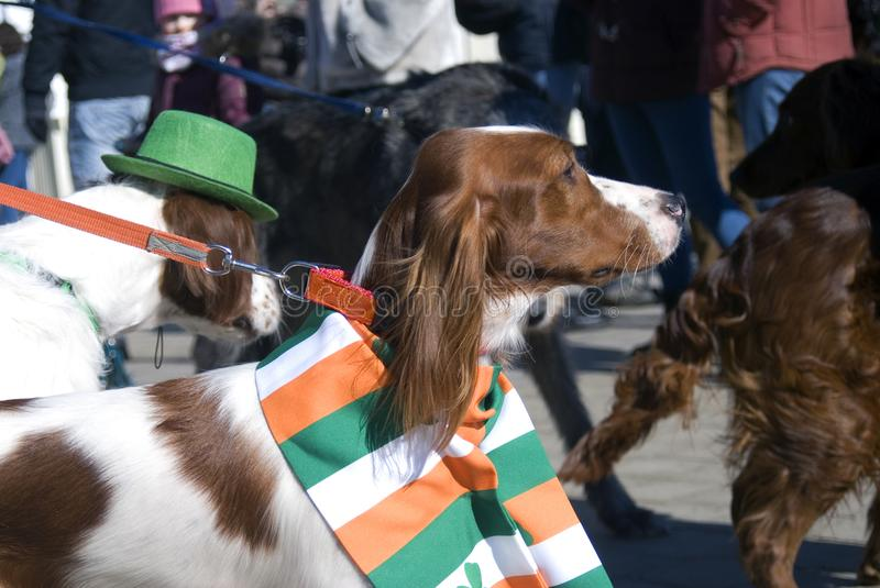 Dogs at Saint Patrick`s Day celebration in Moscow royalty free stock images