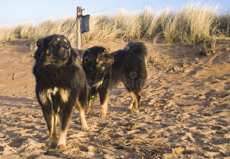 Dogs on the sandy beach royalty free stock photography