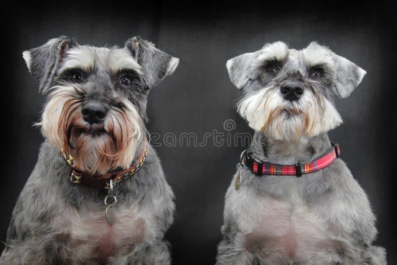 dogs schnauzeren royaltyfri fotografi