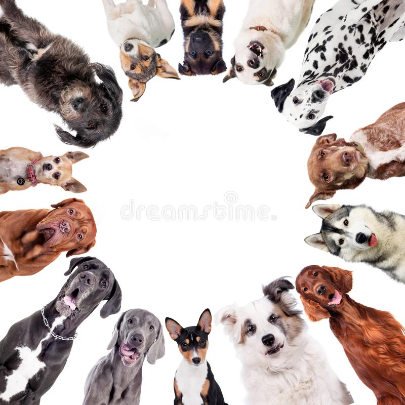 Different dogs in circle on white royalty free stock photography
