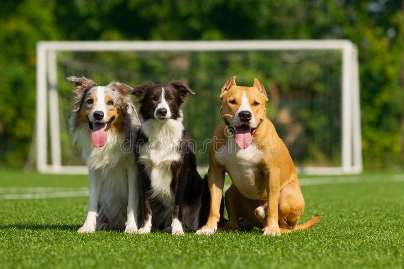 Dogs are sitting on the green grass on the background of a football goal royalty free stock photo