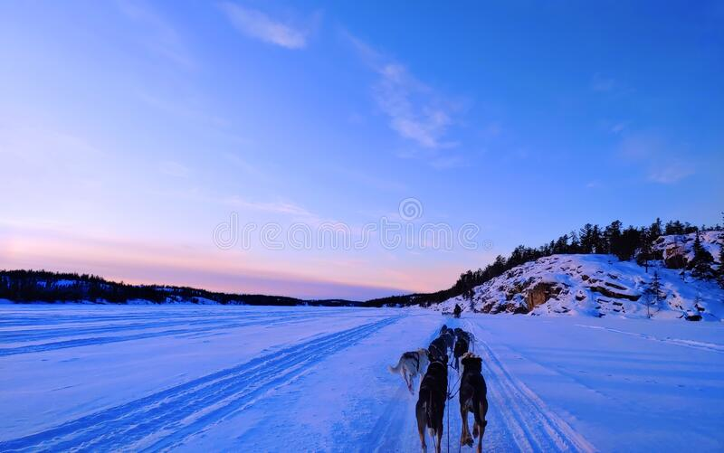 Dogs sledding on a frozen lake in winter time royalty free stock photos