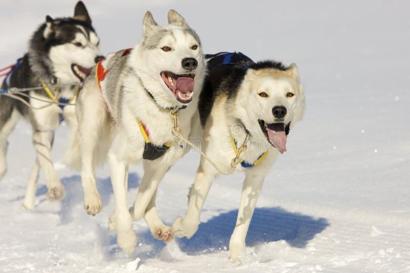dogs sleden arkivfoton