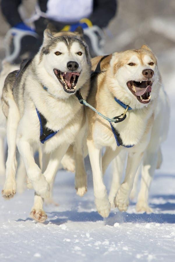 dogs sleden royaltyfri foto