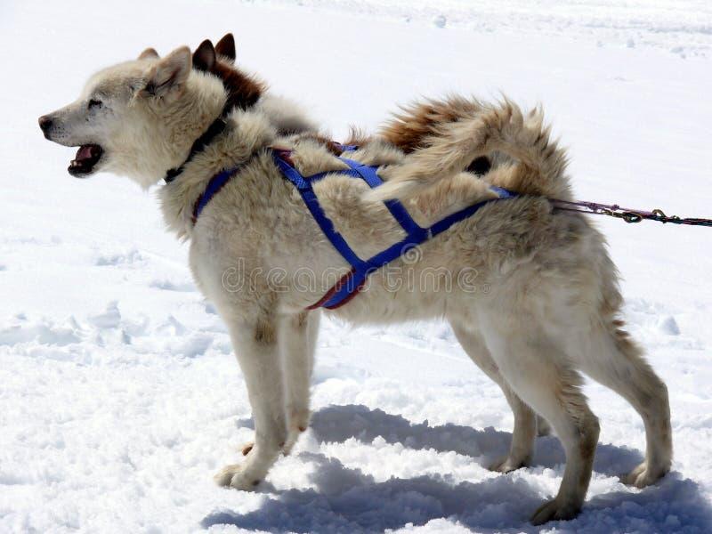 dogs sledsnow royaltyfri bild