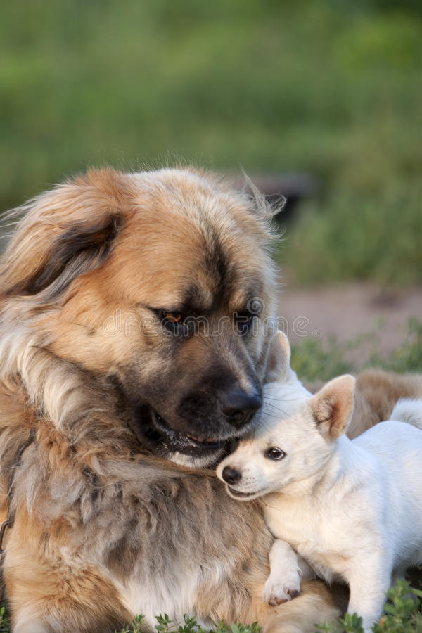 Dogs snuggling royalty free stock photos