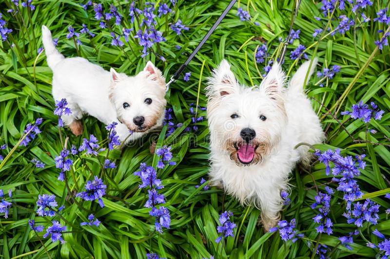 Dogs in spring flowers: west highland terrier westies in bluebells at Rolands Wood dog park, Kerikeri, New Zealand, NZ royalty free stock images