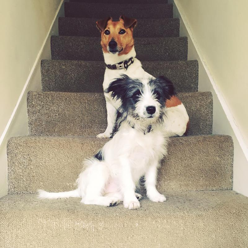 Dogs on the Stairs stock photography