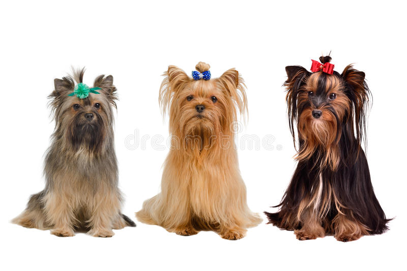 dogs terrieren tre yorkshire royaltyfria bilder