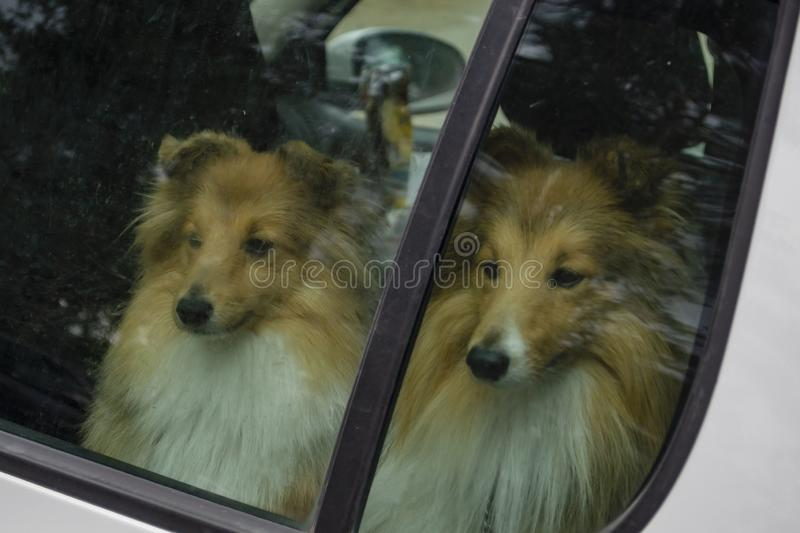Dogs alone in a car. Dogs thrown in a closed car stock photo