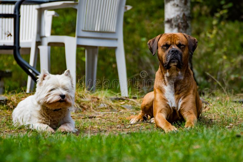 Dogs. Two dogs laying in the garden royalty free stock photography