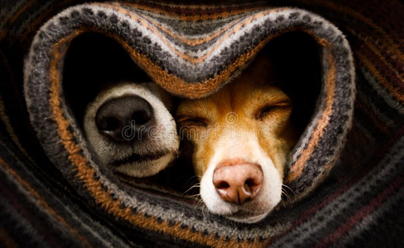 Dogs under blanket together. Couple of dogs in love sleeping together under the blanket in bed in heart form, warm and cozy and cuddly stock image