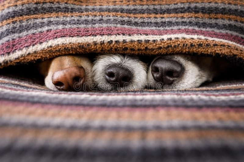 Dogs under blanket together royalty free stock photography