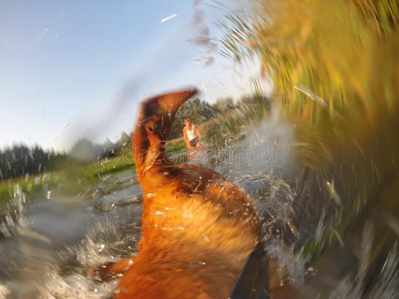 Dogs view while shaking. Adorable little Rhodesian Ridgeback puppy is playing with its buddy in the water. The dog is shaking the water out of its coat. It is a
