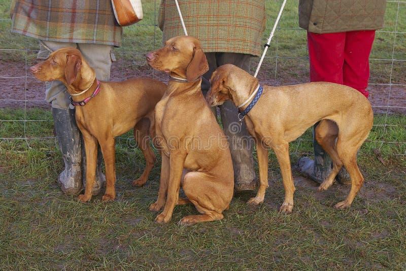 dogs vizsla royaltyfria bilder