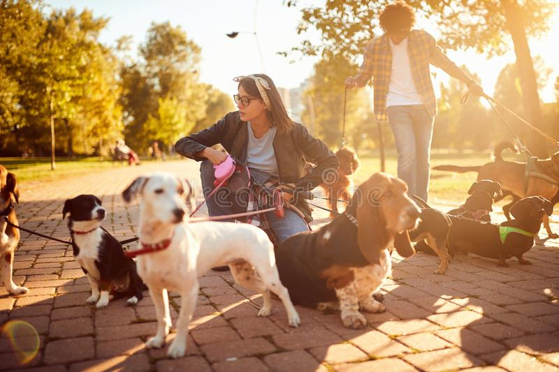 Dogs on walk with professional girl dog walker stock images