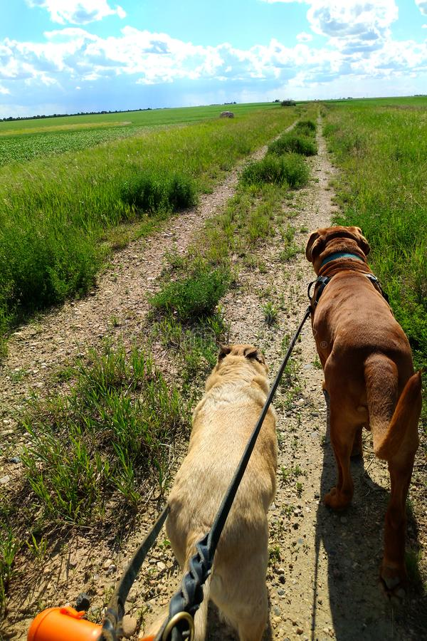 Dogs walking on leash on dirt road in grassy field stock photos