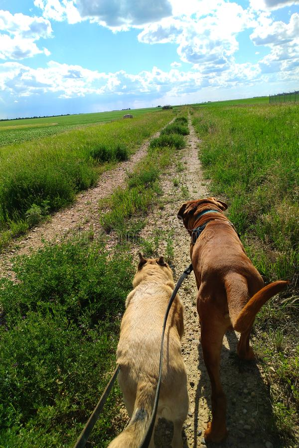 Dogs walking on trail in grassy field on leash stock image