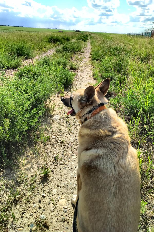 Dogs walking on trail in grassy field on leash royalty free stock image
