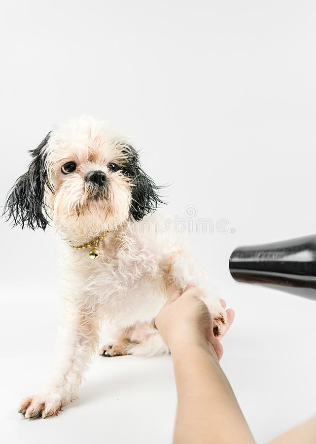 Dogs that was blowing the feathers to make them dry. stock photography