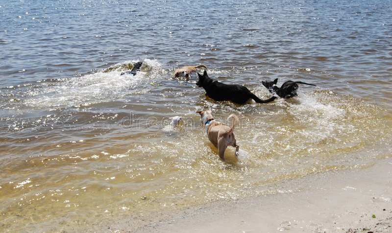 Dogs in water stock photo