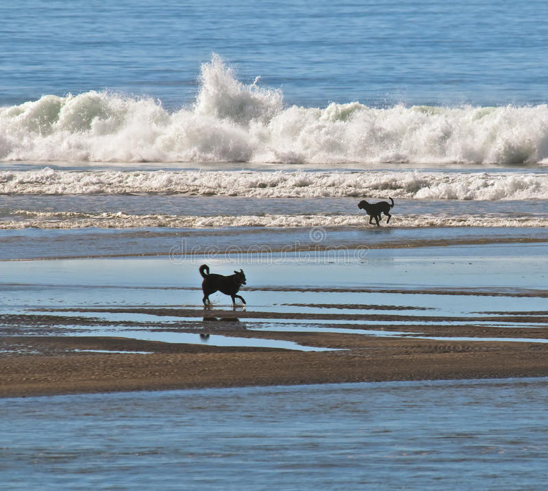 Dogs in the Water at the Beach royalty free stock image