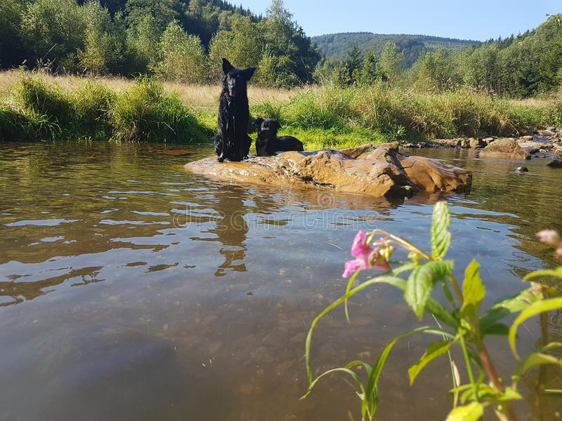 Dogs and Water royalty free stock images