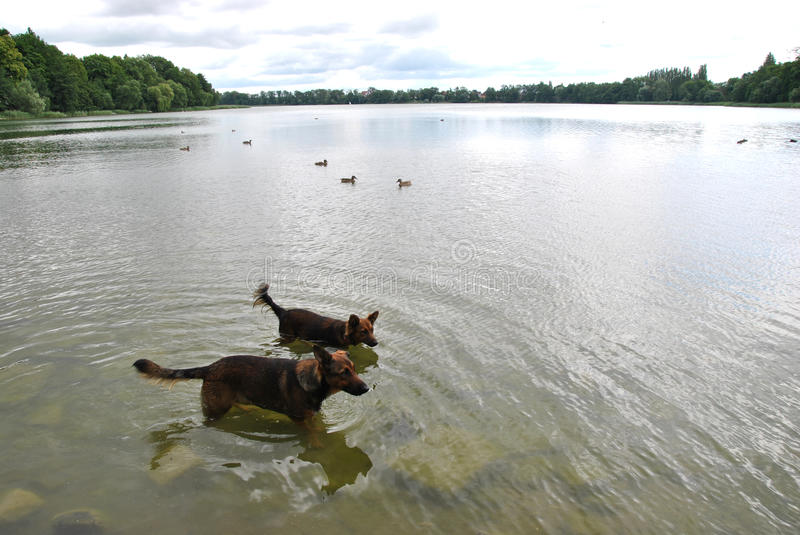 Dogs in a water stock photo
