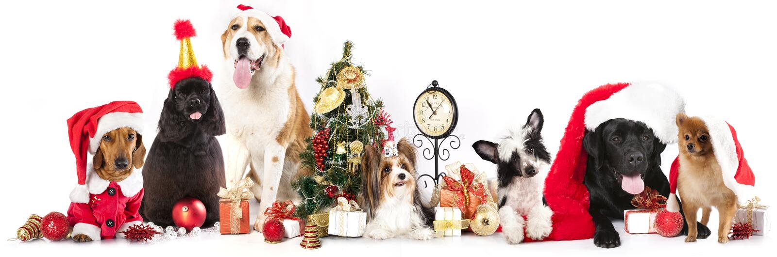Dogs wearing a Santa hat royalty free stock image