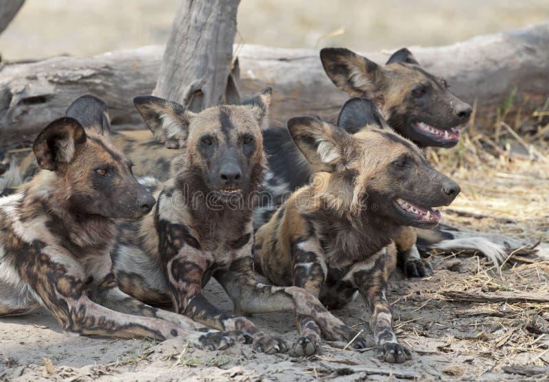 dogs wild royaltyfria foton